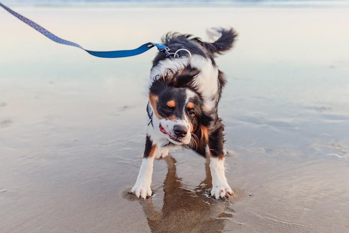 Twin Spur Aussaliers | Dog Beach Photography
